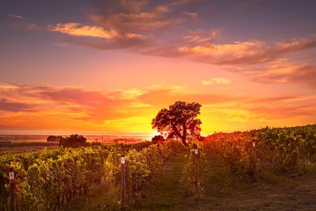 ボルゲリとカスタニェート ヴィンヤードとバックライトの日没でツリー。マレンマ トスカーナ州、イタリア、ヨーロッパ。