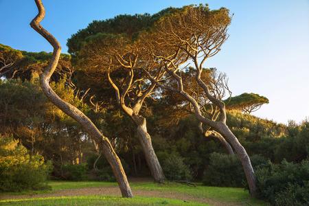 Maritime Pine tree group. Baratti, Maremma, Piombino, Tuscany, Italy.