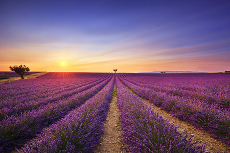 lavander: Lavender flowers blooming field, lonely trees uphill on sunset. Valensole, Provence, France, Europe.