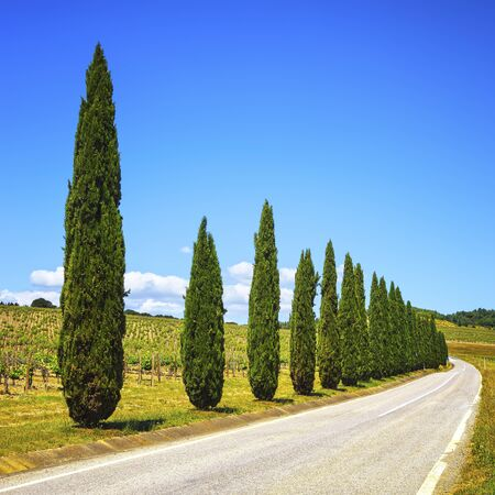 italy street: Cypress Trees row, vineyard and road in a rural landscape near Siena, Tuscany, Italy, Europe.