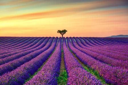 Flores de lavanda en flor de campo, árboles solitarios cuesta arriba en la puesta del sol. Valensole, Provence, Francia, Europa.
