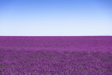 fields of flowers: Lavender flowers blooming fields horizon as background, pattern or texture. Landscape in Provence, France, Europe.