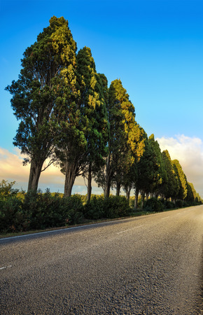 poem: Bolgheri famous cypresses trees straight boulevard landscape. Maremma landmark, Tuscany, Italy, Europe. This boulevard is famous for Carducci poem.