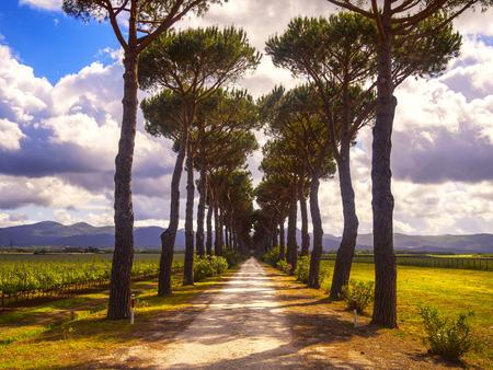 wine road: Pine trees, country road and vineyard. Maremma, Tuscany, Italy, Europe.
