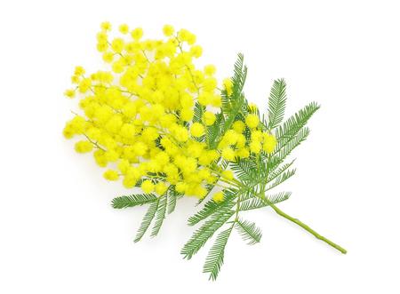 simbolo de la mujer: Wattle flower or mimosa branch, symbol of 8 march women international day, on white background Foto de archivo