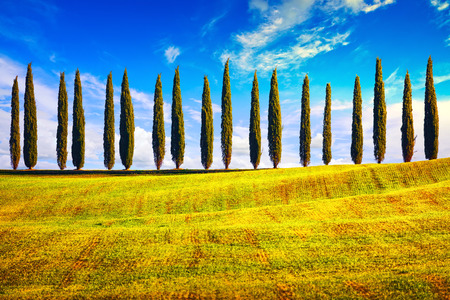 Italian cypress trees row countryside landscape. Siena, Tuscany, Italy, Europe.