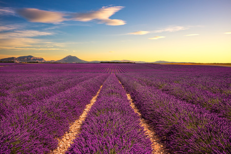 provencal: Lavender flower blooming scented fields in endless rows on sunset. Valensole plateau, Provence, France, Europe. Stock Photo