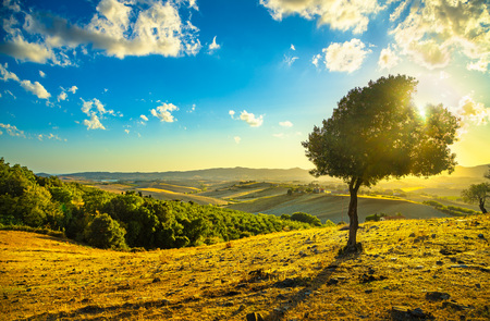 winter sunrise: Tuscany countryside panoramic view, lonely windy olive tree, rolling hills and green fields on sunset. Pisa, Italy, Europe