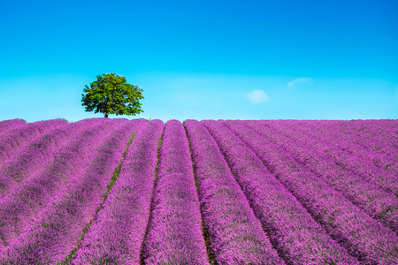 Lavender flowers blooming field and a lonely tree uphill. Valensole, Provence, France, Europe.