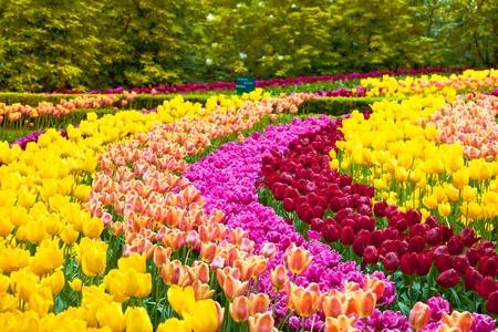 Tuin van tulpen de kleurrijke bloemen op de lenteachtergrond, patroon of textuur