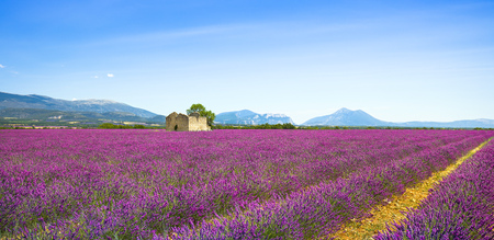 Lavender flowers blooming field, wheat, old house and lonely tree. Panoramic view. Plateau de Valensole, Provence, France, Europe.
