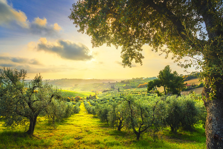 Maremma countryside panoramic view, olive trees, rolling hills and green fields on sunset. Sea on the horizon. Casale Marittimo, Pisa, Tuscany Italy Europe.