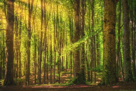 Casentino secular forest. Tree misty woods or beechwood. Tuscany, Italy. Foreste Casentinesi national park, Tuscany, Italy, Europe Stock fotó