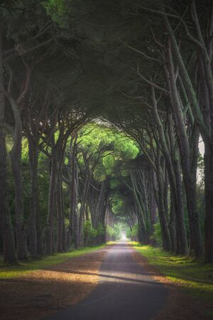 San Rossore and Migliariino park, footpath in pine tree misty forest or pinewood. Pisa, Tuscany, Italy Europe