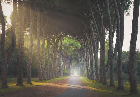 Parque San Rossore y Migliariino, sendero en bosque de pinos brumoso o pinar. Pisa, Toscana, Italia Europa Foto de archivo