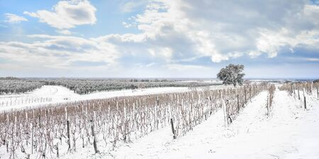 Bolgheri vineyards rows covered by snow in winter. Castagneto Carducci, Tuscany region, Italy, Europe.