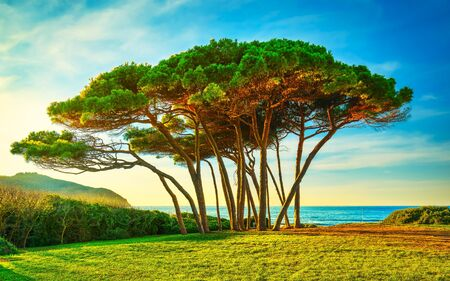 Maritime Pine tree group near sea and beach on sunset. Baratti, Maremma, Piombino, Tuscany, Italy.