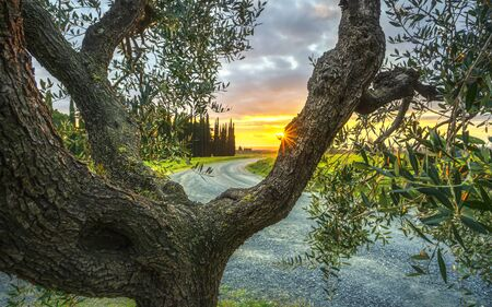 Olive Tree branches and bark, cypresses and country road on background at sunset. Casale Marittimo. Pisa, Tuscany, Italy. Archivio Fotografico
