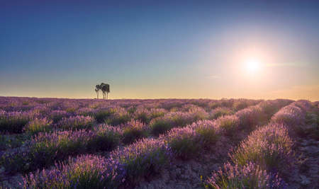 Lavender fields and trees at sunset. Santa Luce, Tuscany, Pisa, Italy. Europe