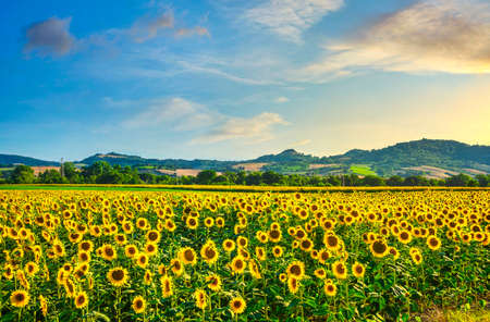 Field of blooming sunflowers at sunset, summer panoramic landscape in Tuscany, Italy