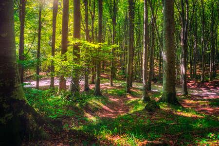 Casentino secular forest. Tree misty woods or beechwood. Tuscany, Italy. Foreste Casentinesi national park, Tuscany, Italy, Europe Standard-Bild