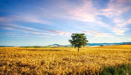 Tuscany countryside panorama, tree and wheat field. Santa Luce, Pisa Italy, Europe