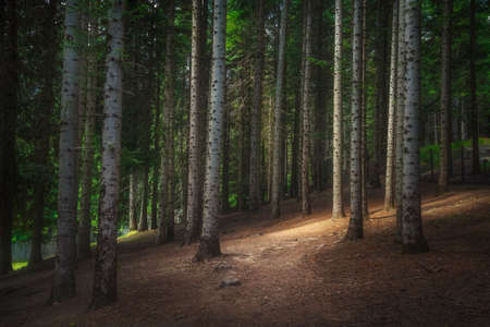 Mountain path inside a silver fir forest in Orecchiella natural park. Apennines in Garfagnana, Tuscany, Italy. europe
