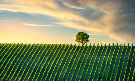 Vineyard and tree at sunset. Castellina in Chianti, Tuscany, Italy, Europe.