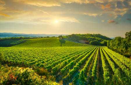 Vineyard at sunset. Sangiovese red Italian wine grape variety. Castellina in Chianti, Tuscany, Italy, Europe. 스톡 콘텐츠