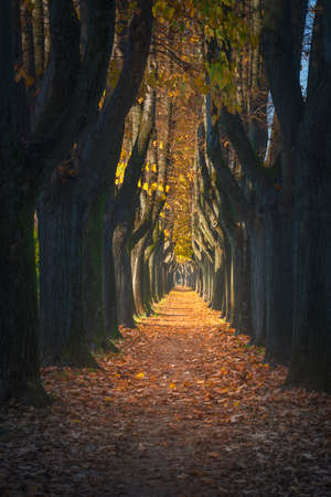 Lucca, autumn foliage in tree lined walkway in a foggy morning. Tuscany, Italy.
