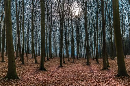 Winter day in a beech forest with the sun behind the branches,  old leaves cover the ground, Jaegerspris, Denmark, February 19, 2018 Editorial