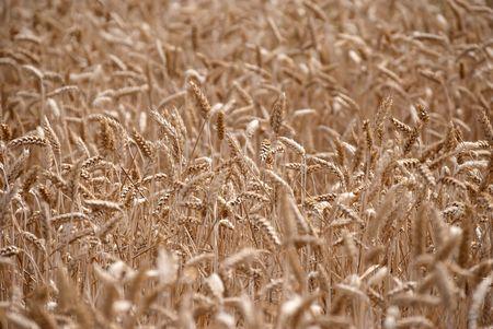 wheat field Stock Photo - 8117293
