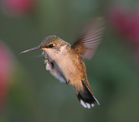 Ruby-throated Hummingbird Scratching an Itch