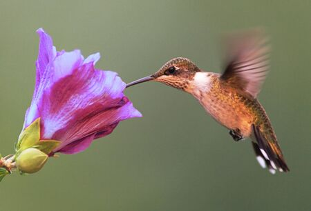 Juvenile Male Ruby-throated Hummingbird photo