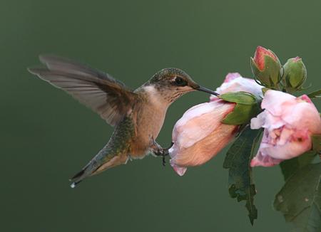 Juvenile Male Ruby-throated Hummingbird Banco de Imagens