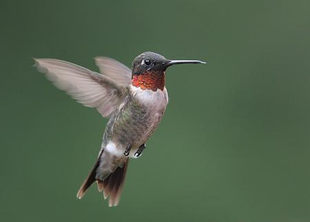Male Ruby-throated Hummingbird Stock Photo