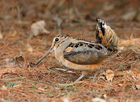 American Woodcock Courtship Display Stock Photo