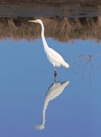 wading: Great Egret Wading with reflection