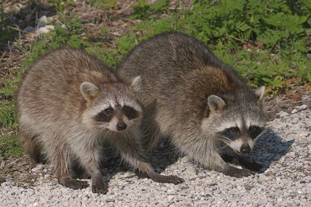 raccoons:  Raccoons playing in the Florida Everglades