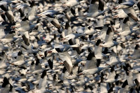 flew: 25,000 Snow Geese taking flight when a Bald Eagle flew over