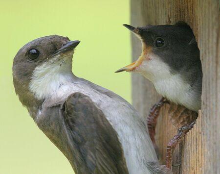 Female Tree Swallow feeding a