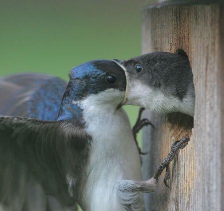 Male Tree Swallow feeding a  photo