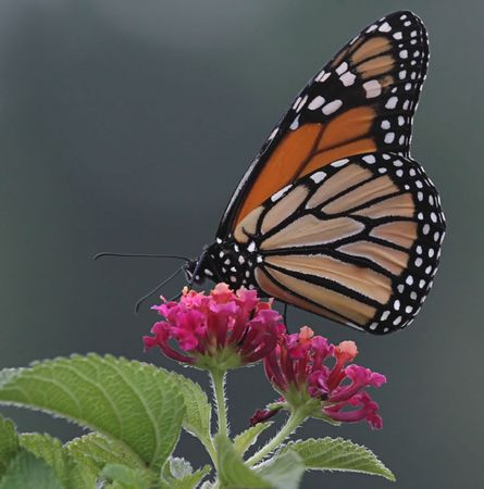 lantana: Monarch Butterfly on a Lantana flower Stock Photo
