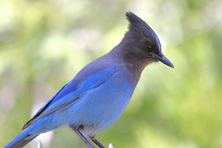 handout: Stellars Jay looking for a free handout Stock Photo
