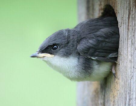 maison oiseau: Tree Swallow dans une maison d'oiseaux