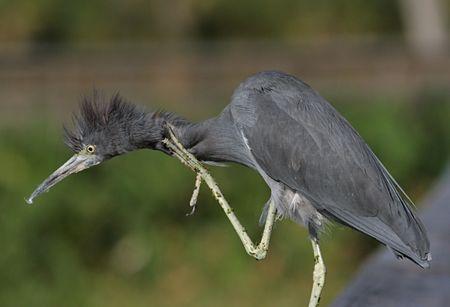 Little Blue Heron scratching an itch