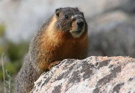 Yellow-bellied Marmot sunning on a rock Stok Fotoğraf