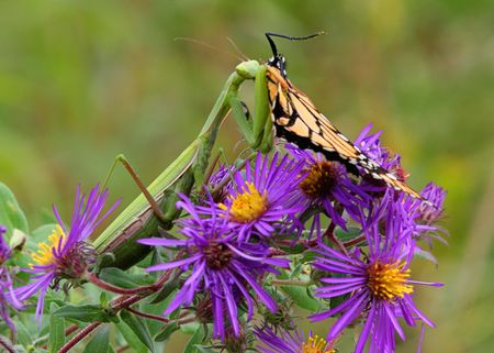 mantis: Praying Mantis eating a Monarch Butterfly Stock Photo