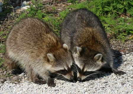 raccoons:  Raccoons in search of a bite to eat