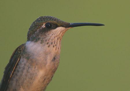 그의 영토를 지키고있는 어린 루비 -throated Hummingbird 스톡 콘텐츠